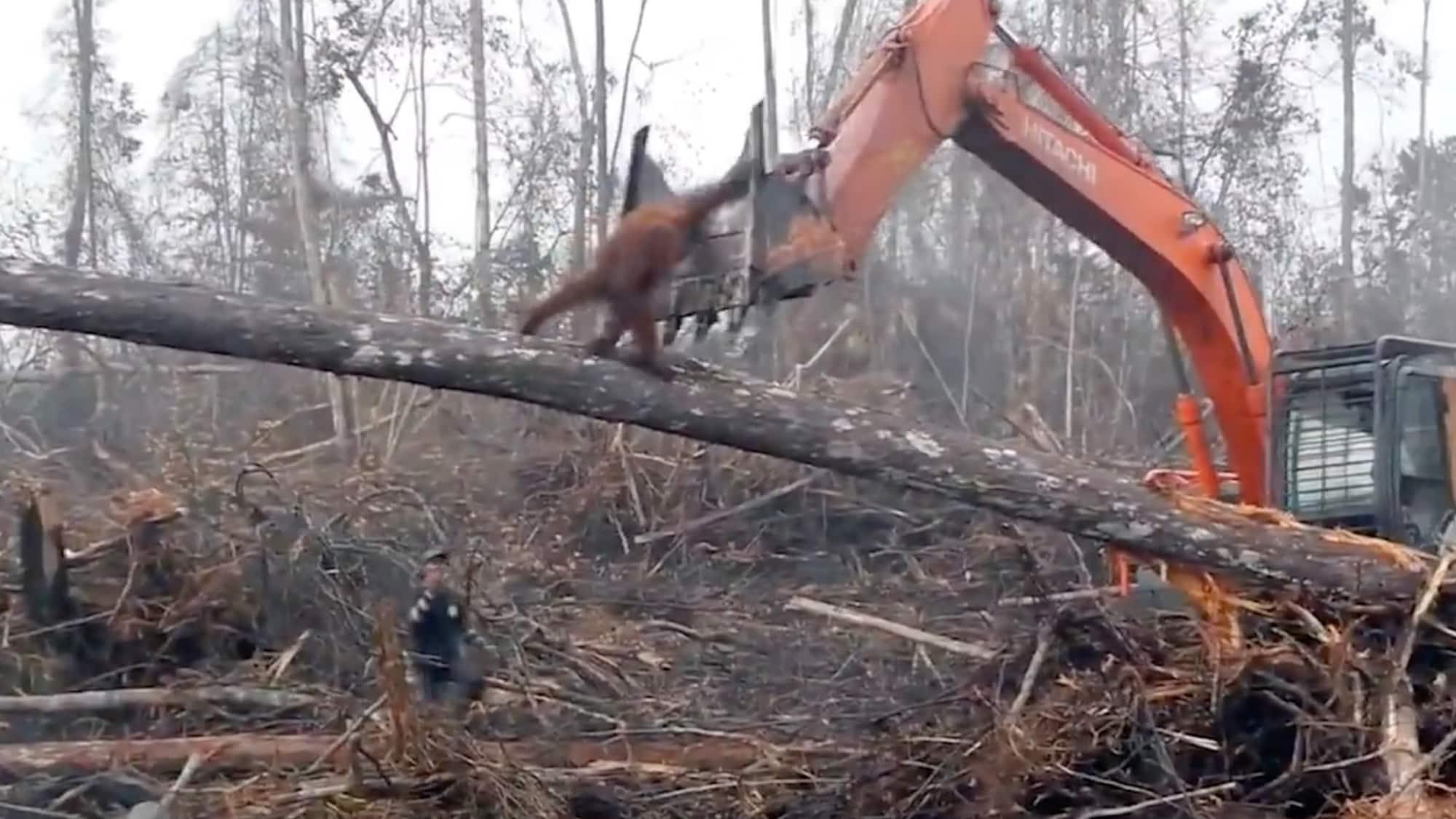 Tier gegen Bagger: Orang-Utan kämpft gegen Urwald-Zerstörung