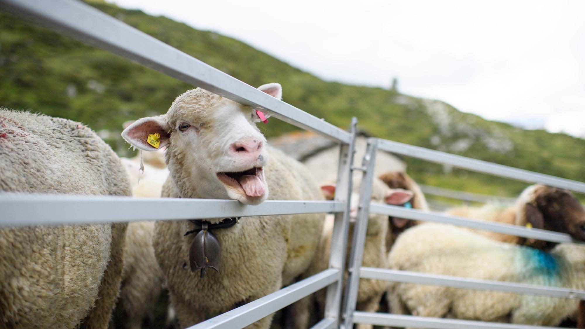 Vom Hof in Evionnaz VS: Tierdiebe klauen 40 Oster-Lämmer