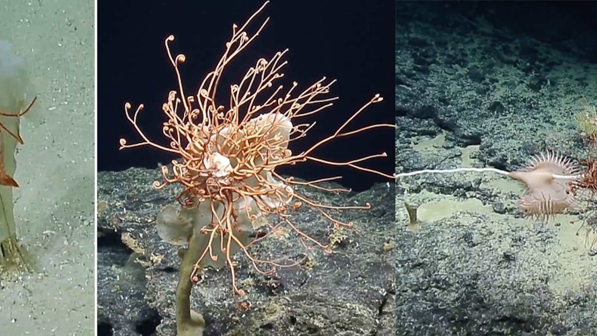 Forscher in Samoa verblüfft: Unterwasser-Steilwand birgt Dutzende bizarre Meeresbewohner