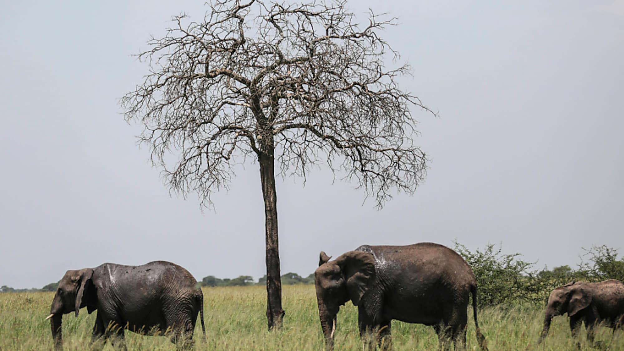 Artenschutz: Uno-Konferenz will Verkauf wilder Elefanten an Zoos verbieten
