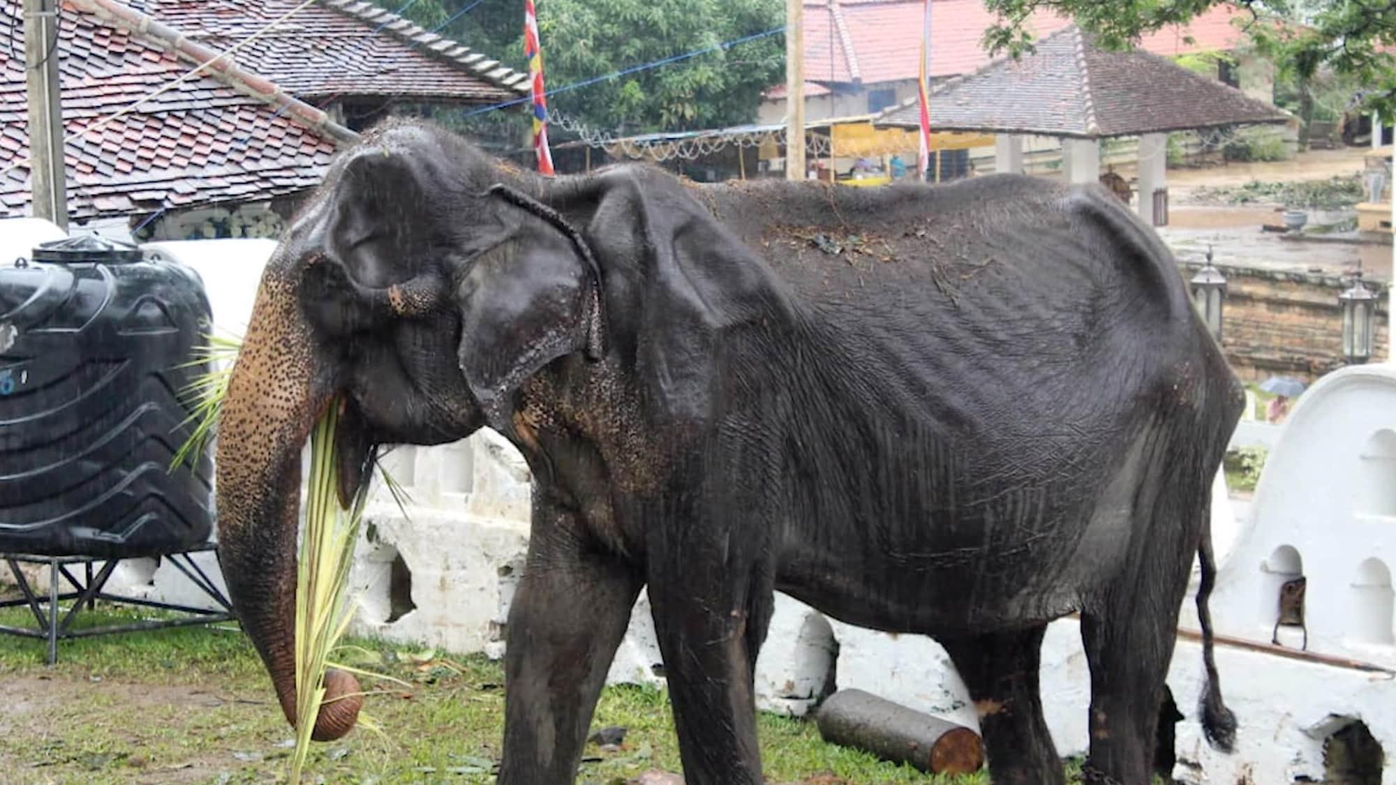 Weltweite Empörung: 70-jähriger Elefant muss bei Parade mitlaufen