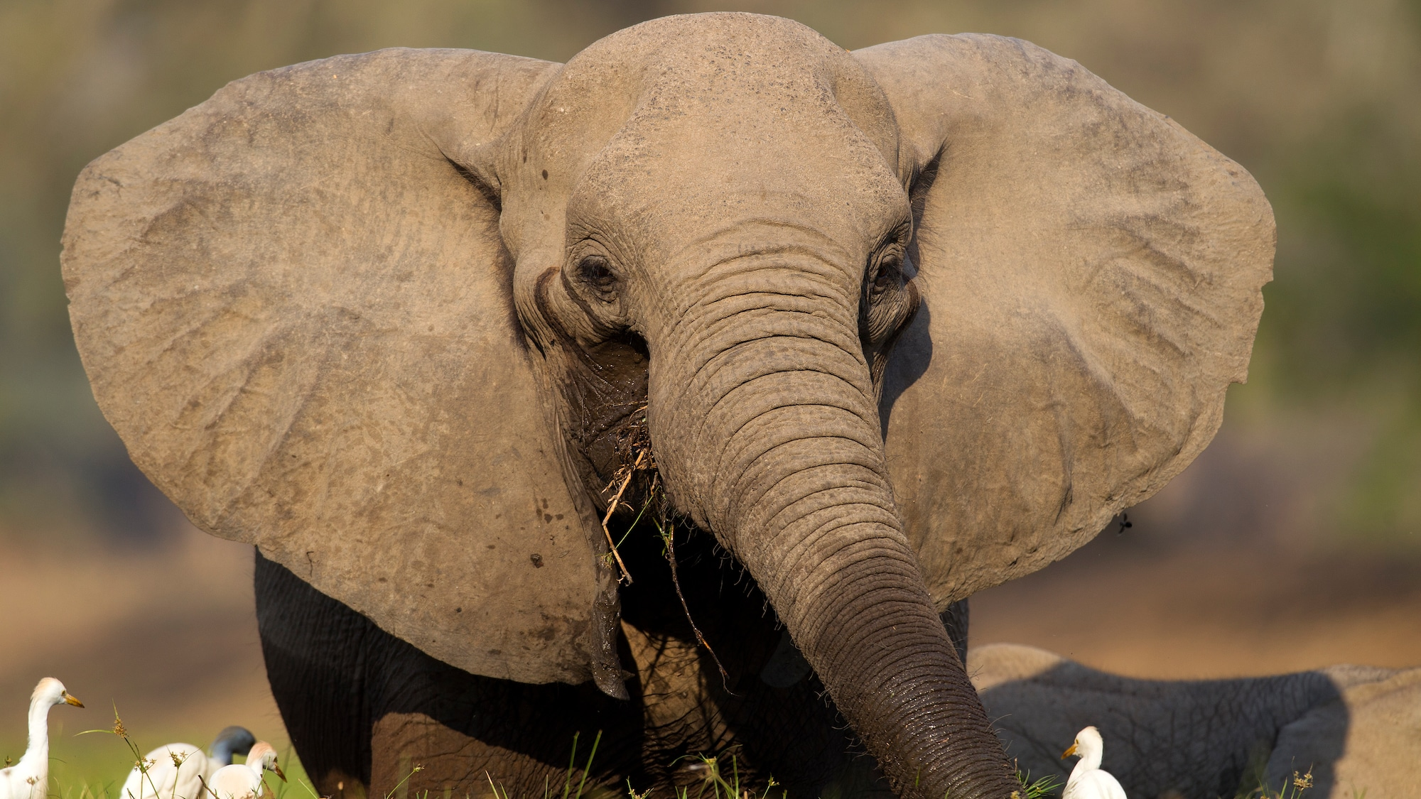 Tierschützer warnen vor kolossalem Fehler: Schweiz will Elefanten-Handel nicht einschränken