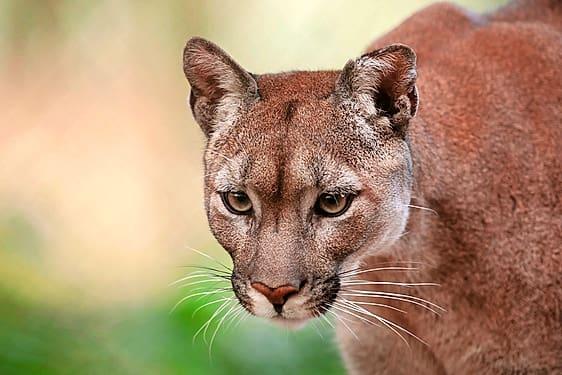 8-jähriger Bub überlebt Puma-Attacke