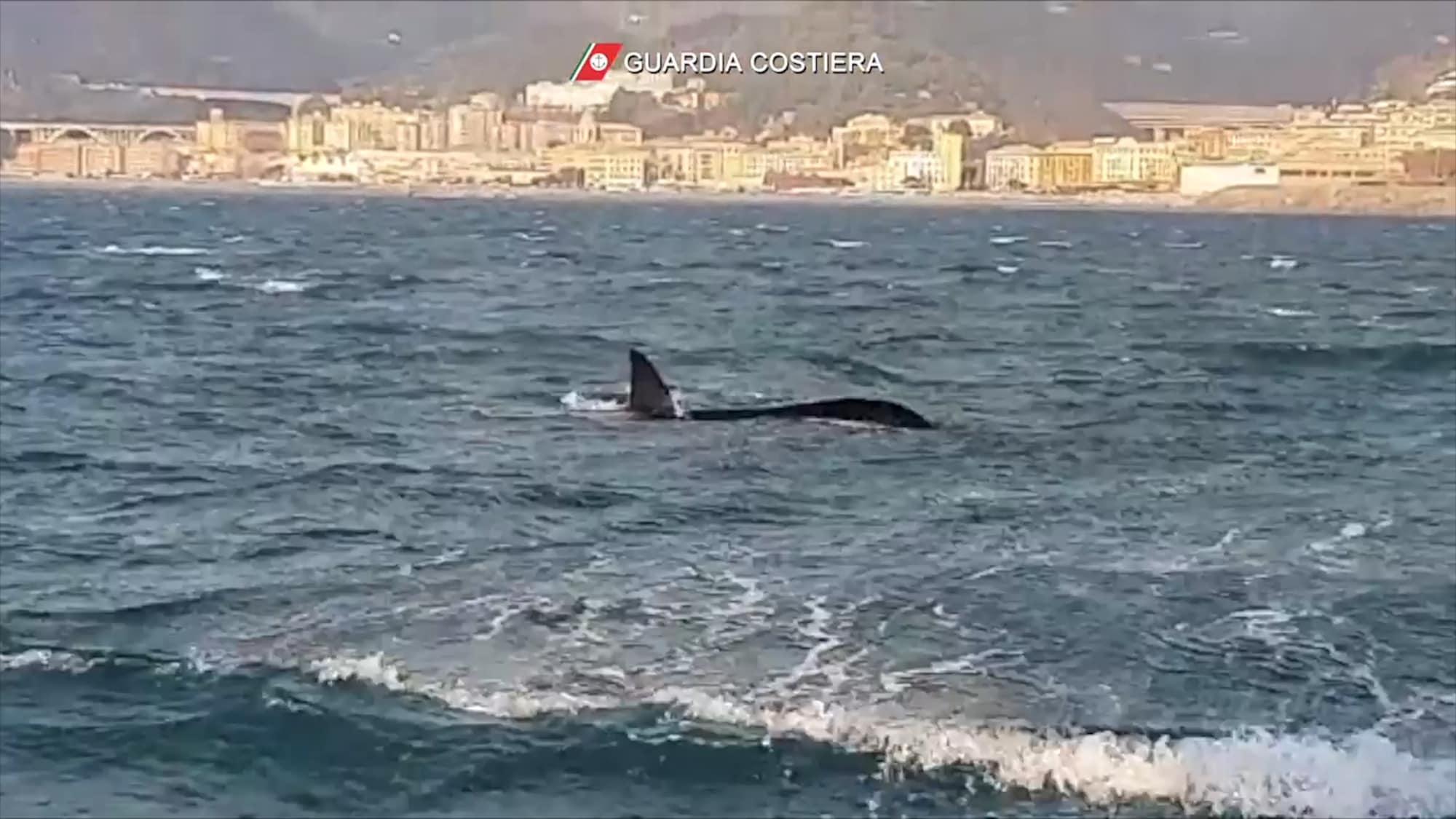 Sensation im Mittelmeer: Orcas verirren sich vor die Küste Genuas