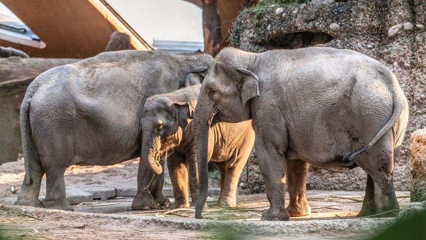 Zoo Zürich: Elefantenbaby stirbt kurz nach Geburt - Blick