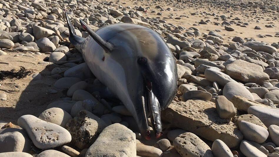 Biskaya: Massenhaft tote Delfine an französischer Westküste - Blick