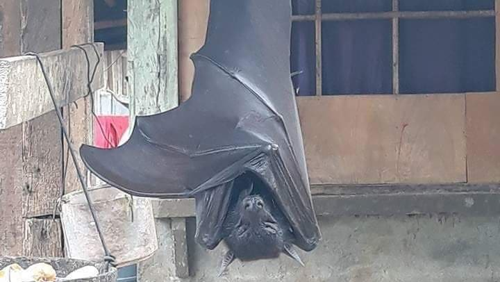 Riesen-Flughund mit 1,7 Meter Flügelspannweite geht viral - Blick