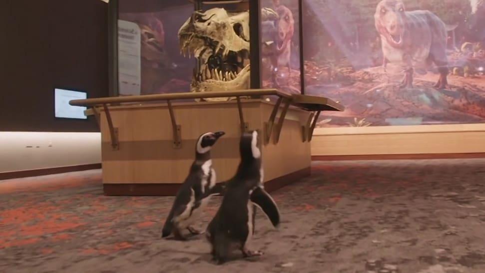 Pinguine besuchen Dinosaurier-Museum in Chicago - Blick