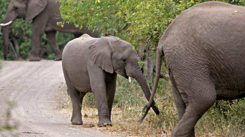 In Krüger-Nationalpark: Elefant trampelt Wilderer in Südafrika zu Tode