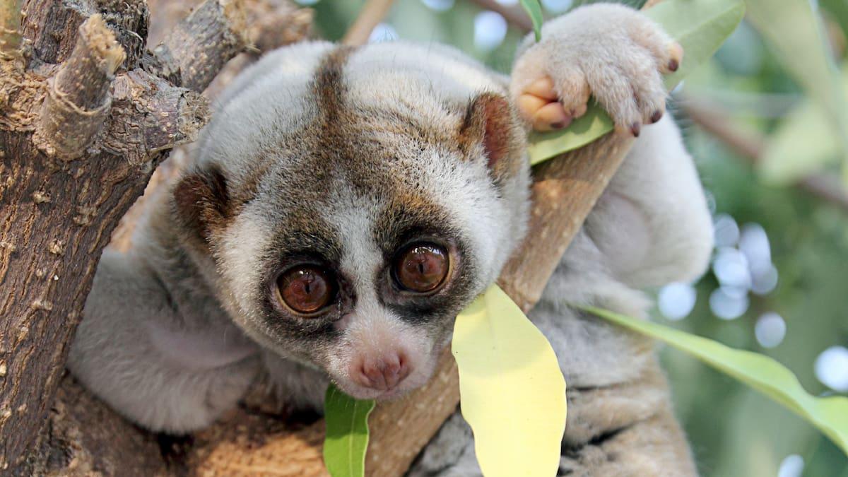 Neue Primaten Art Entdeckt Achtung Dieser Herzige Affe Ist Giftig