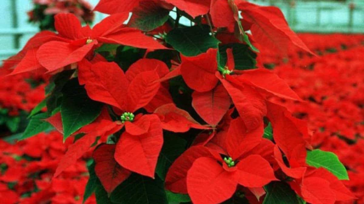 zwingen weihnachtsstern ausbreitung in reifen pflanzen